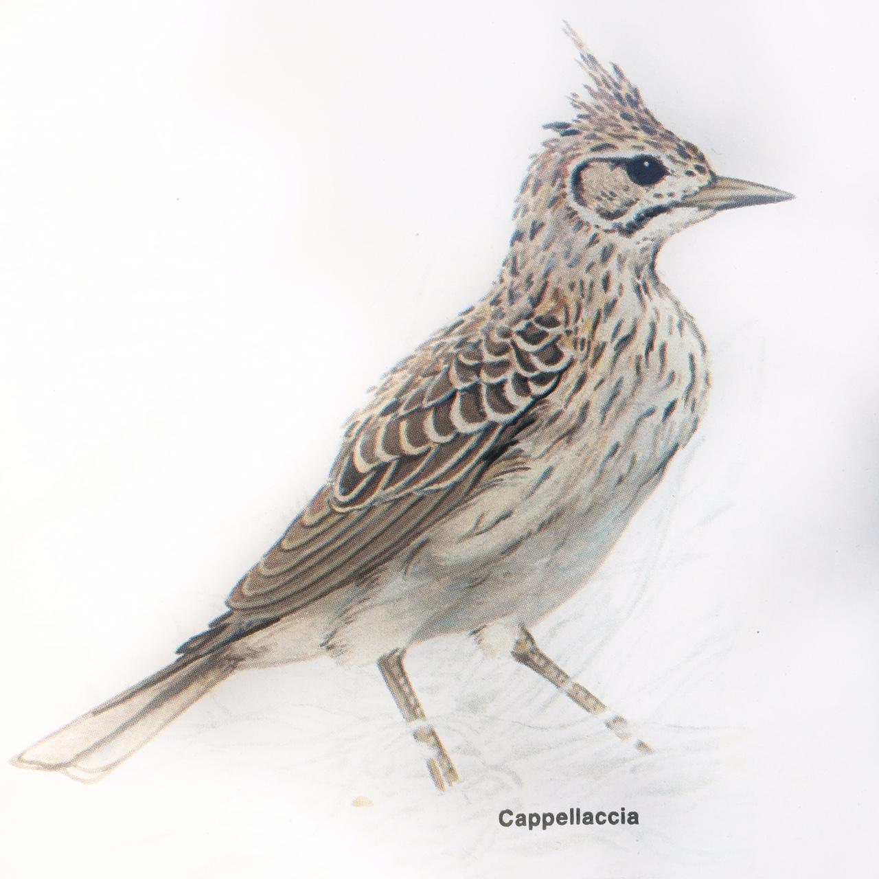 Vogelnamen in het Italiaans: cappellaccia