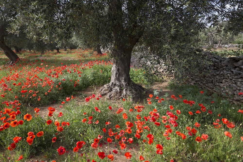 Olijfbomen en klaprozen in de Salento, Puglia