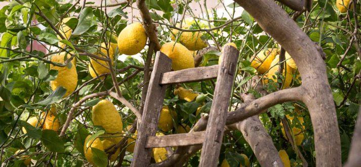 Citroenenpluk aan de oostkant van Sicilië