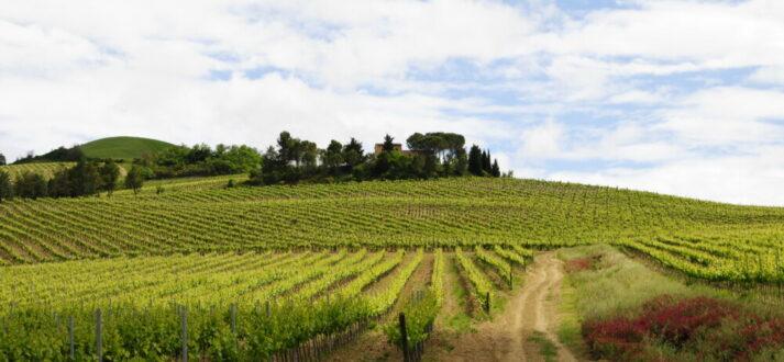 De wijngaarden van ViniVentiSei in Orvieto