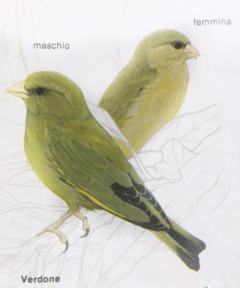 Vogelnamen in het Italiaans: verdone